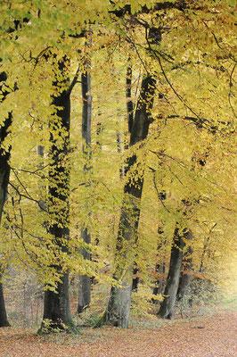 Rotbuchen (Fagus sylvatica) im Herbst, Nordrhein-Westfalen / ch101348