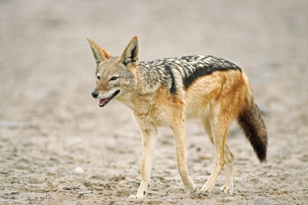 Schabrackenschakal (Canis mesomelas) / chs05216