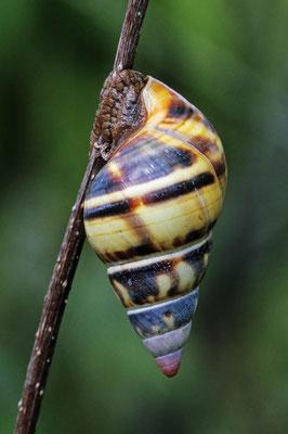 Florida-Baumschnecke (Liguus fasciatus) / chs05014