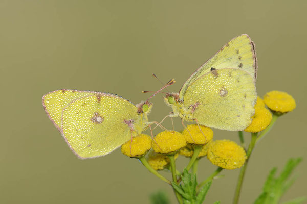 Goldene Acht (Colias hyale) / ch130688