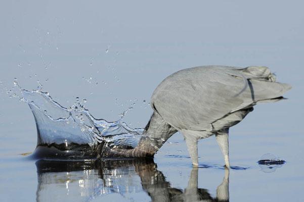 Blaureiher (Egretta caerulea) / ch023224