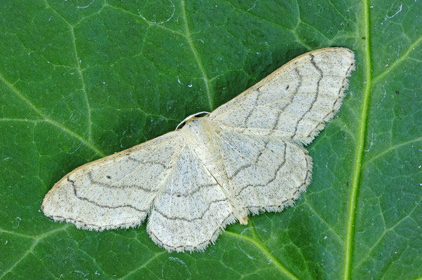Weißstirn-Weißspanner (Cabera pusaria) / ch025492