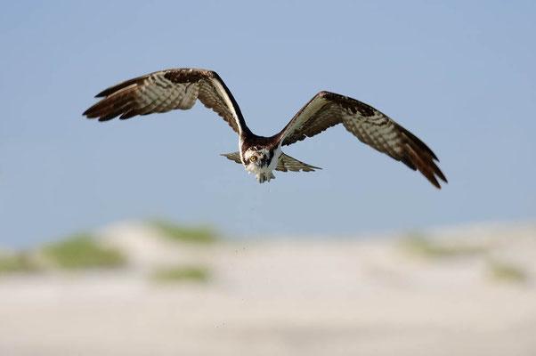 Fischadler (Pandion haliaetus) / ch067047