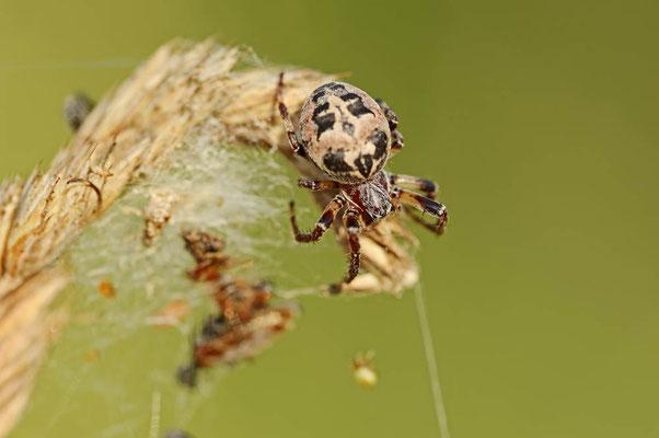 Schilfradspinne (Larinioides cornutus) / ch095542