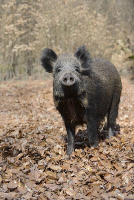 Europäisches Wildschwein (Sus scrofa scrofa) / ch142159