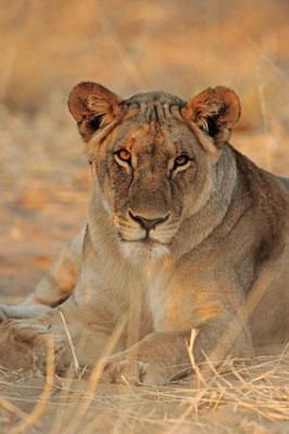 Löwe (Panthera leo) / chs05226