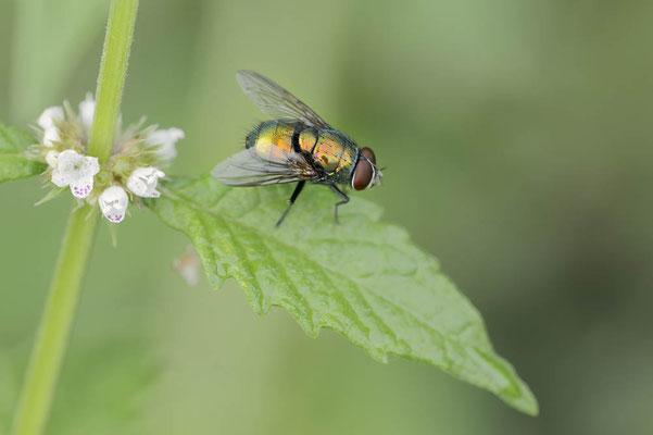 Goldfliege (Lucilia sp.) / ch174579