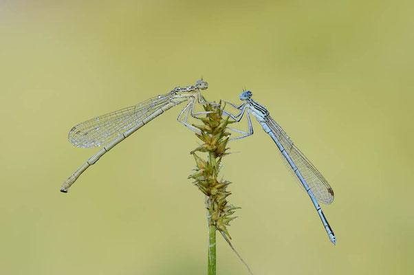 Blaue Federlibelle (Platycnemis pennipes) / ch138304