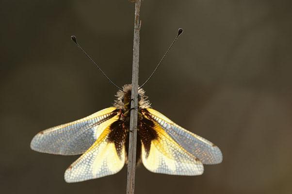Libellen-Schmetterlingshaft (Libelloides coccajus) / ch091179