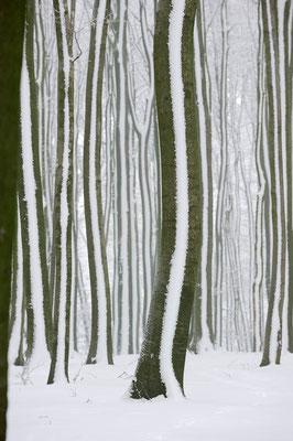 Rotbuchen (Fagus sylvatica) im Winter, Nordrhein-Westfalen / ch103904