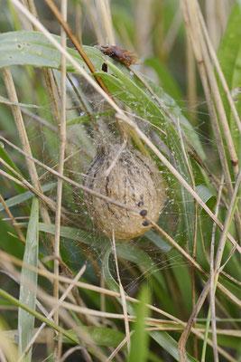 Wespenspinne, Eikokon (Argiope bruennichi) / ch138515