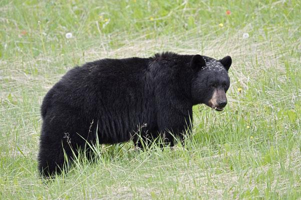 Amerikanischer Schwarzbär (Ursus americanus) / ch163250