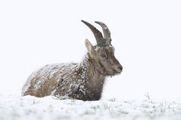 Alpensteinbock (Capra ibex) / ch135264