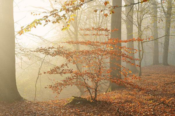 Rotbuche (Fagus sylvatica) im Herbst, Nordrhein-Westfalen / ch196910