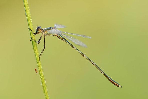 Gemeine Weidenjungfer (Lestes viridis, Chalcolestes viridis) / ch077786