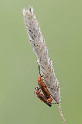 Roter Weichkäfer oder Rotgelber Weichkäfer (Rhagonycha fulva) / ch114189