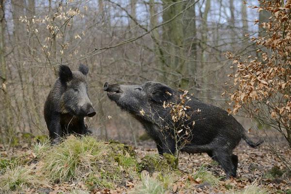 Europäisches Wildschwein (Sus scrofa scrofa) / ch142348