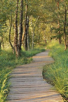Bohlenweg im Birkenwald, Nordrhein-Westfalen / ch181343