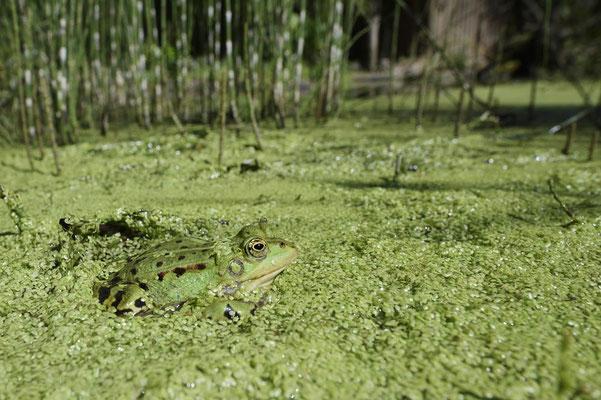 Teichfrosch (Pelophylax esculentus) / ch173797