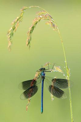 Gebänderte Prachtlibelle (Calopteryx splendens) / ch089113