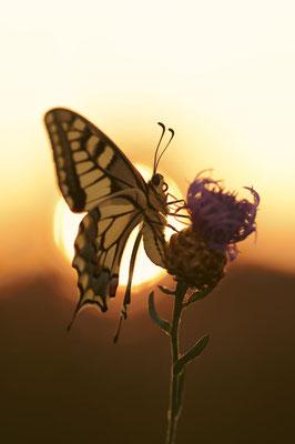 Schwalbenschwanz (Papilio machaon) / ch191085