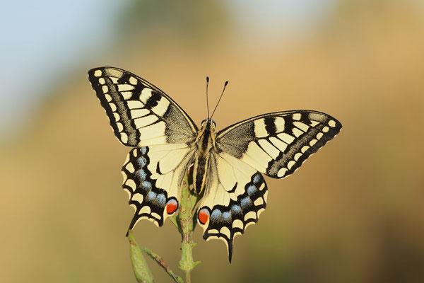 Schwalbenschwanz (Papilio machaon) / ch191057