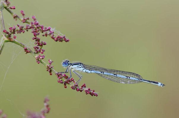 Pokaljungfer (Erythromma lindenii, Cercion lindenii) / ch146498