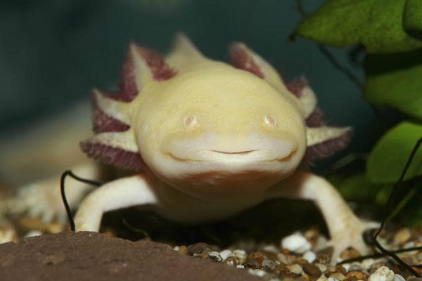 Axolotl (Ambystoma mexicanum) / ch132789