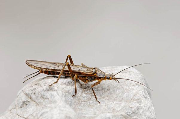 Steinfliege (Perlodes sp.) / ch011210