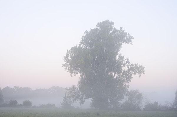 Kanada-Pappel (Populus x canadensis, Populus x euramericana), Nordrhein-Westfalen / ch184981