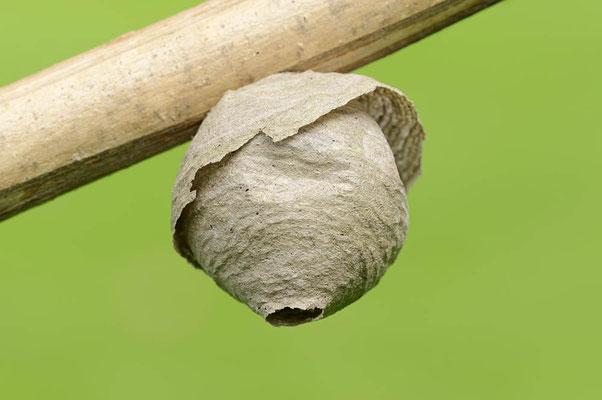 Sächsische Wespe (Dolichovespula saxonica) / ch077175