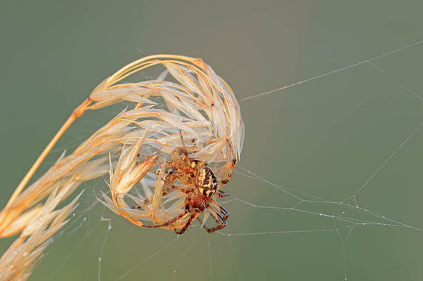 Schilfradspinne (Larinioides cornutus) / ch095519