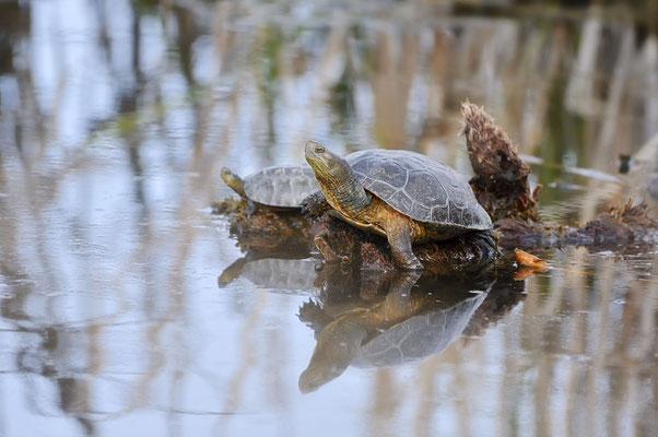 Maurische Bachschildkröte oder Spanische Wasserschildkröte (Mauremys leprosa) / ch179828