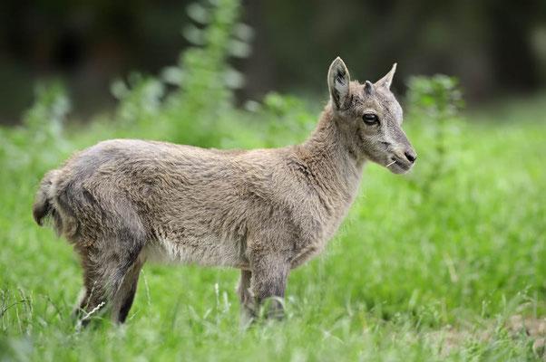 Alpensteinbock (Capra ibex) / ch114921
