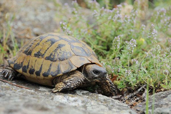 Griechische Landschildkröte (Testudo hermanni boettgeri) / ch074884