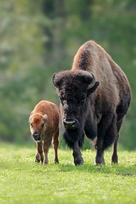 Amerikanischer Bison (Bison bison) / ch099917