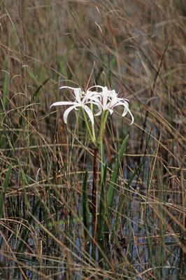 Hakenlilie (Crinum americanum) / chs04972