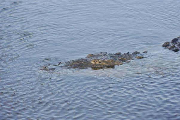 Spitzkrokodil (Crocodylus acutus) / ch063810