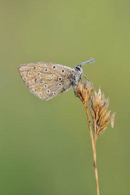 Hauhechel-Bläuling (Polyommatus icarus) / ch174651