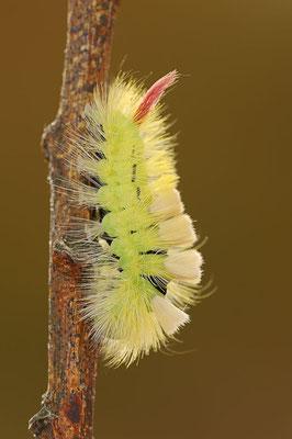 Buchen-Streckfuß (Calliteara pudibunda) / ch098368