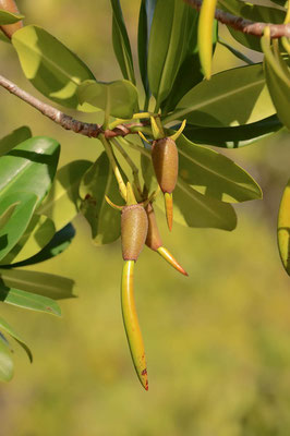 Rote Mangrove (Rhizophora mangle) / ch069807