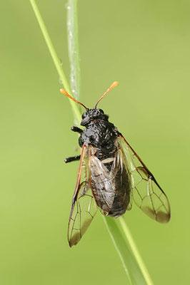 Große Birkenblattwespe (Cimbex femoratus) / ch088475