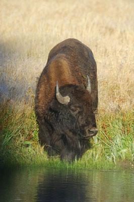 Amerikanischer Bison (Bos bison, Bison bison) / ch057785