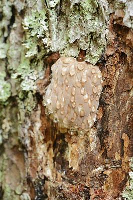 Rotrandiger Baumschwamm (Fomitopsis pinicola) / ch168917