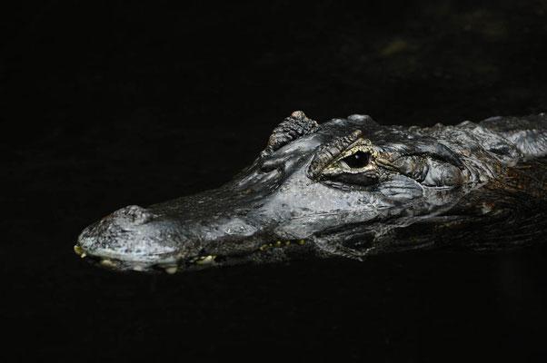 Yacare-Kaiman oder Südlicher Brillenkaiman (Caiman yacare, Caiman crocodilus yacare) / ch010317