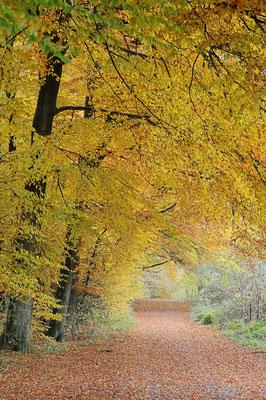 Wanderweg und Rotbuchen (Fagus sylvatica) im Herbst, Nordrhein-Westfalen / ch101347