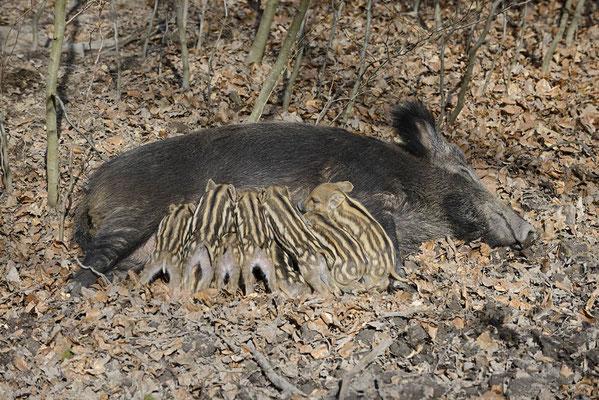 Europäisches Wildschwein (Sus scrofa scrofa) / ch142109
