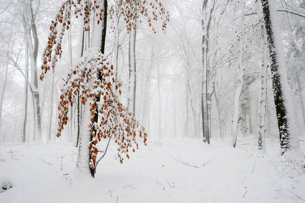 Rotbuchen (Fagus sylvatica) im Winter, Nordrhein-Westfalen / ch103730