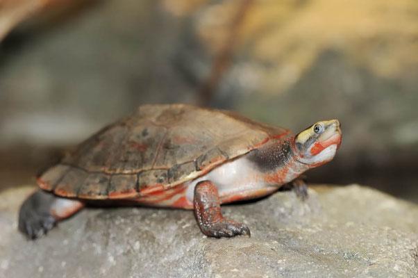 Rotbauch-Spitzkopfschildkröte (Emydura subglobosa) / ch127492