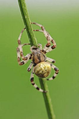 Vierfleck-Kreuzspinne (Araneus quadratus) / ch041611